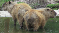 Rodents, Capybara, Zoo Animals, Mammals, Wildlife Stock Footage