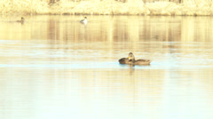 Two ducks bobbing their heads Stock Footage