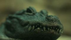 Aligator nose Stock Footage