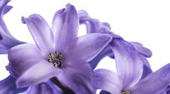 Hyacinth Flower - stock photo