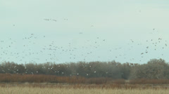 Snow geese circeling a field Stock Footage