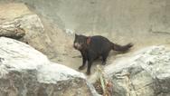 Stock Video Footage of scared tasmanian devil