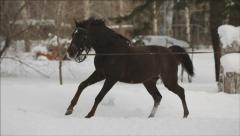 Young brown Horse trotting in a Circle at winter Afternoon Stock Footage