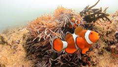 Western Pacific Clownfish Stock Footage