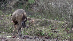 Sambar Dear (Rusa unicolor) - Two females and a fawn Stock Footage