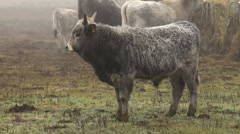 Hungarian grey bulls in winter Stock Footage