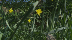 Daffodils in an English garden (dolly slow motion) Stock Footage