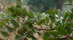 Common chameleon camouflaged Stock Footage