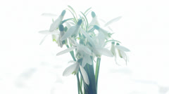 Bouquet of snowdrops Stock Footage