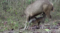 Sambar Dear (Rusa unicolor) - A fawn feeds from it's Mother Stock Footage
