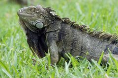 green iguana, aruba, abc islands - stock photo