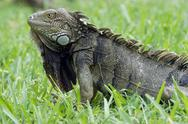 Stock Photo of green iguana, aruba, abc islands