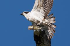 Soaring osprey carrying a fish in it's talons Stock Photos