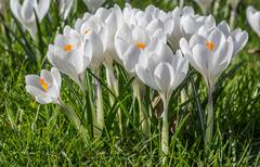 white crocus with yellow orange pistil - stock photo