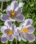 Violet striped crocus with yellow pistil Stock Photos