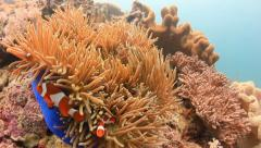 Pair of Clownfish aggressively defending their home anemone - stock footage