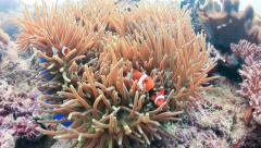 Clownfish swim through the tentacles of their host anemone - stock footage