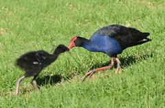 pukeko - new zealand native birds - stock photo