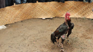 Stock Video Footage of Cockfighting