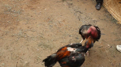 Cockfighting - stock footage