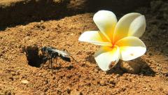 Busily digging wasp carrying sand out a hole and kicking on a fallen frangipani Stock Footage