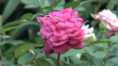 Close up view of red and pink color UK roses in full bloom. Stock Footage