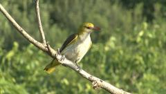 Exotic bird Golden oriole perched on tree branch. - stock footage