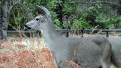 Meandering Deer in Yosemite - stock footage