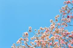 Photo of tabebuia rosea and empty space for text Stock Photos