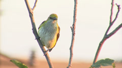 Exotic bird Golden oriole perched on tree branch. Stock Footage