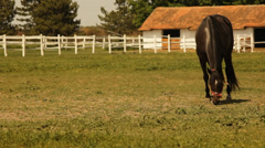 Brown horse grazing. Stock Footage