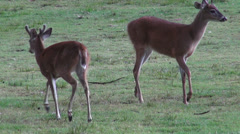Deer Family, Mammals, Zoo Animals, Wildlife Stock Footage