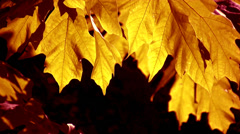 Maple Leaves - 04 - Yellow - Close Loop - stock footage