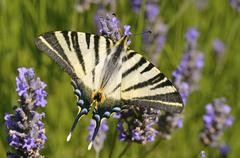 Scarce Swallowtail butterfly on lavender Stock Photos