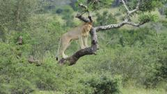 Lioness standing in a tree. Stock Footage