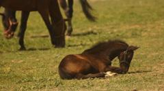 Cute foal grazing. Stock Footage