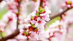 Pink cherry flowers blooming in springtime. 4K. FULL HD, 4096x2304 Stock Footage
