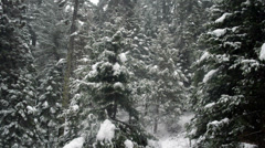 Snow Falling in a Pine Forest Stock Footage