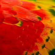 scarlet macaw feathers - stock photo