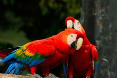 Stock Photo of scarlet macaw