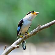 Stock Photo of female silver-breasted broadbill