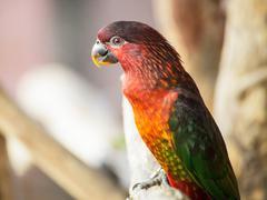 Kardinaali lory, chalcopsitta cardinalis papukaija lintu Kuvituskuvat