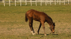 Foal grazing. Stock Footage