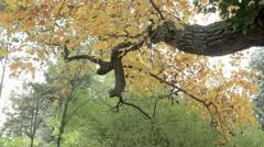 Leaves on a Tree Stock Footage