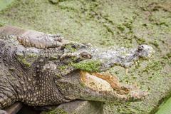 crocodile and jaw - stock photo