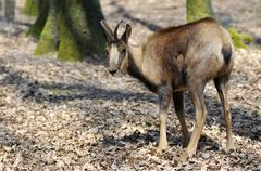Chamois on dead leaves - stock photo