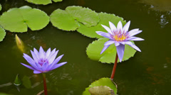 Lotus flowers Stock Footage