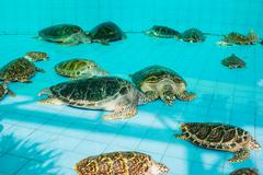 Stock Photo of green turtle or chelonia mydas in pond