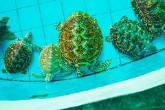 Green turtle or erethmochelys imbricata on pond, top view Stock Photos