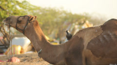Crow Sitting on Ruminating Camel's Neck Stock Footage